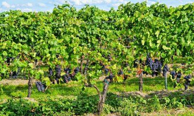 Burgundia winogrona