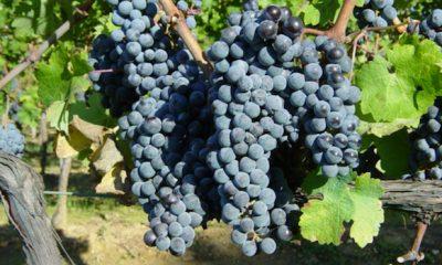 vinifera gatunek winorośli rodzącej wino