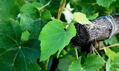Piemont winorośl