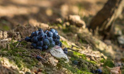 winogrona w lesie