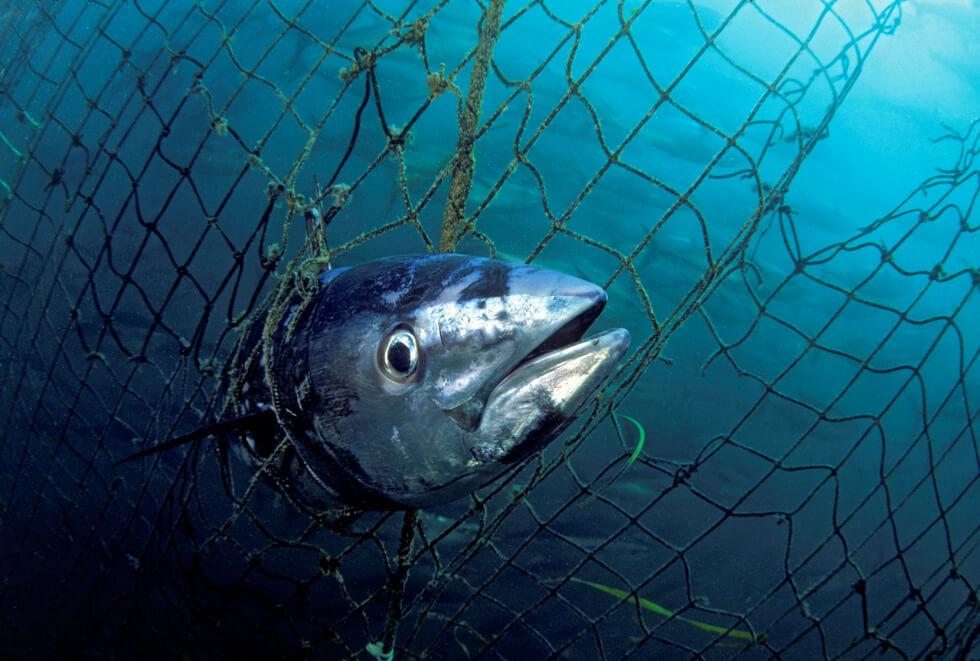 tuńczyk błękitnopłetwy zagrożony wyginięciem