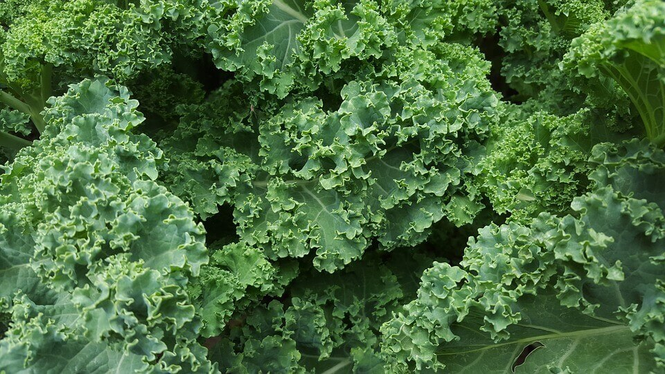 jarmuż nasze nowe narodowe warzywo