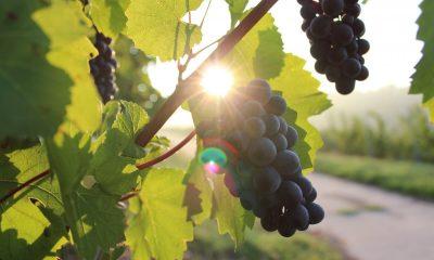 winogrono z mołdawii