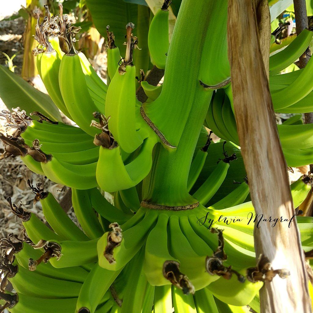 mus owocowy, banany